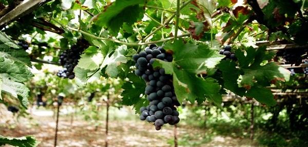 دراسات  : التغيرات المناخية بدأت تؤثر على حصاد العنب في فرنسا وسويسرا