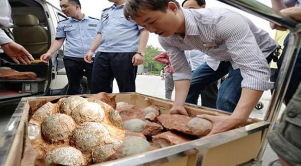 متحف صينى يعرض بيضات متحجرة لطيور نعام يعود عمرها إلى أكثر من 150 ألف سنة