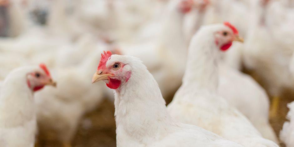 الزراعة ترد على شائعة غلق محال الجزارة أو إصابة الطيور بسلالة من الأنفلونزا