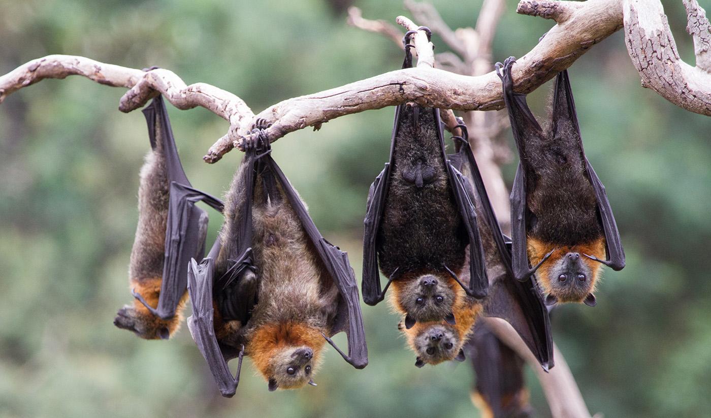 الصحة العالمية : فيروس كورونا انتقل من الخفافيش ويصيب القطط