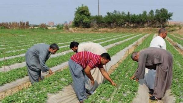 الزراعة تناشد المزارعين شراء التقاوى المنتقاة والمحسنة لزيادة الإنتاج