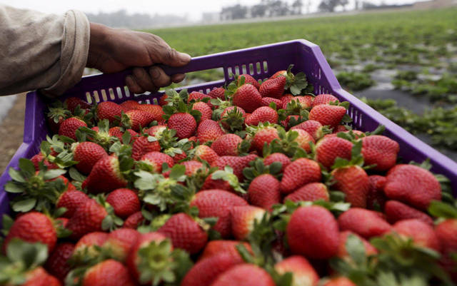 مصر الأولى عالميًّا في تصدير الفراولة المجمدة وَفق تقرير «التجارة العالمية»
