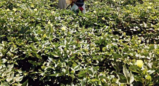 الزراعة: المحاصيل الصيفية بحالة جيدة ولم تتأثر بالموجة الحارة