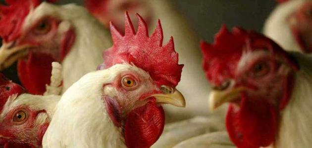 الحكومة تنفى ظهور بؤر لإنفلونزا الطيور فى مزارع للدواجن